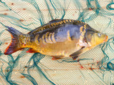 Traditional food for christmas table in Czech Republic and Poland. The Common Carp - Cyprinus Carpio. Fishing catch. - 208790295