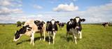 Vaches au pré en France