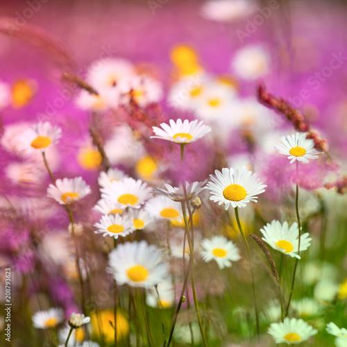 Foto Murales Champ de fleurs roses et blanches