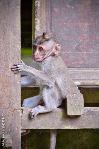 Fotobehang Aap Long-tailed Monkey