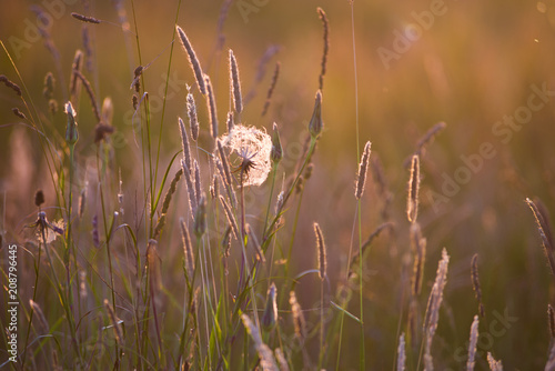Arnika zwischen Sommer Gräsern