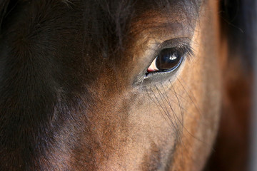Eye of a horse close-up.