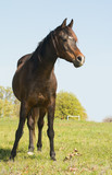 dark bay Arabian horse looking to the right of the viewer, on a grassy spring field