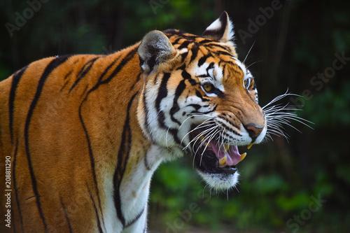 Fototapeta tigre siberiano