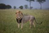 Lion droit devant