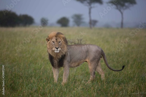 Fotobehang Lion Lion droit devant