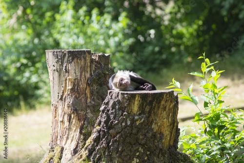 Fotobehang Aap Monkey is chilling on the Tree