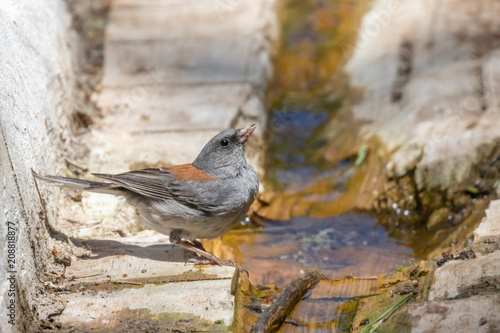 Foto Murales Dark-eyed junco, gray-headed subspecies, in log at Capulin Spring in Sandia Mountains, New Mexico