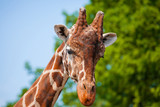 muzzle of a giraffe close-up - 208821463