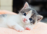 small kitten conveniently lays on a soft blanket and looks - 208825611