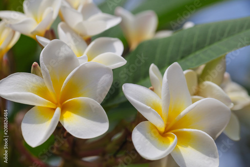 Fotobehang Plumeria Plumeria has beautiful appearance and pleasant aroma