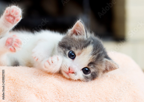 small kitten conveniently lies and looks at the camera