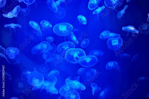 Leinwandbild Motiv Large group of transparent jellyfish floats in  marine aquarium.