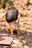 Squirrel in autumn leaves - 208835095