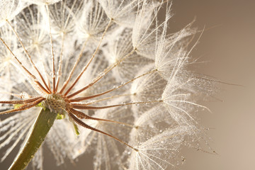 Dandelion seed head with dew drops on grey background, close up