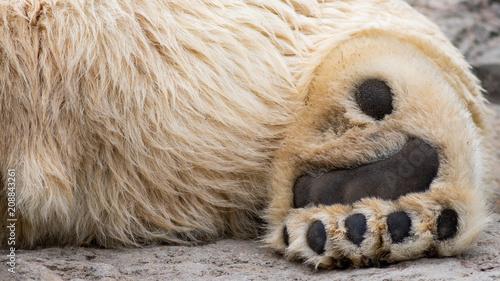 Fotobehang Ijsbeer Polar Bear Paw