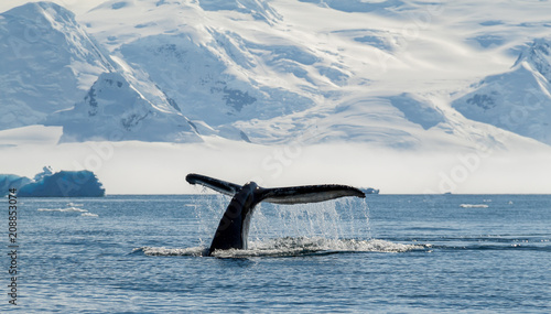 Foto Spatwand Antarctica Humpback whale, Antarctica