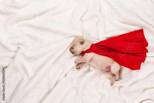 Newborn labrador puppy with red superhero cape sleeping on white background
