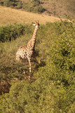 Giraffe in the African wild - 208861207