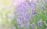 Lavender - 208868026