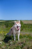 Portrait of A beige and white dog breed siberian husky standing in the field in summer. Image of Siberian husky is in beautiful grass and flowers on blue sky background