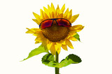 Sunflower head wearing sunglasses isolated on white