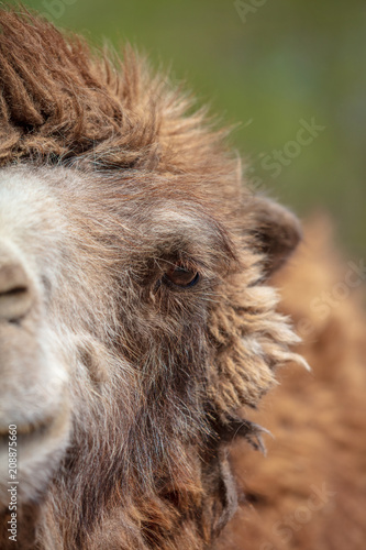 Fotobehang Kameel Portrait of a camel at the zoo