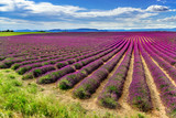 Endless lavender fields in Valensole, Provance, France