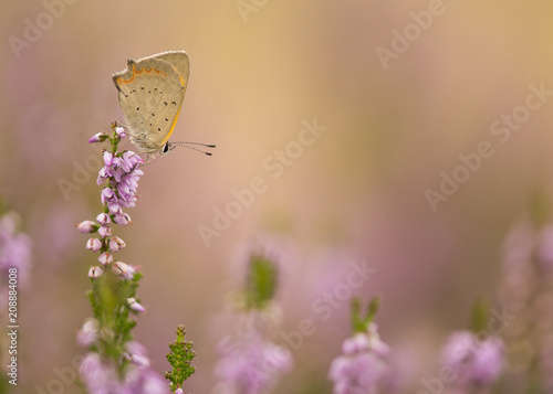 Fotobehang Vlinder Copper butterfly in blooming purple heather
