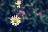 Bunte Blumenwiese mit Margarithe und Kleeblüten im Frühling - 208885289