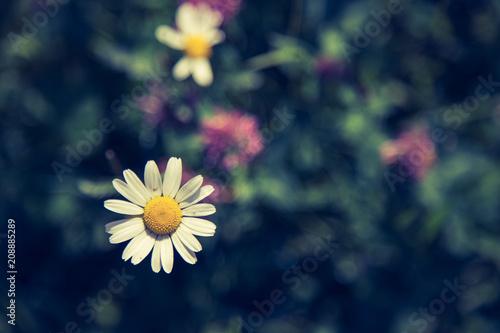 Foto Murales Bunte Blumenwiese mit Margarithe und Kleeblüten im Frühling