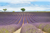 Lavender field in Provence, France - 208887479