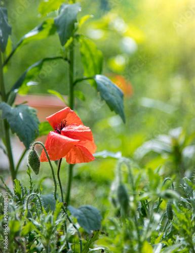 Mohnblumen im eigenen Garten