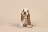Cute sitting basset hound puppy with head held high on a creme background