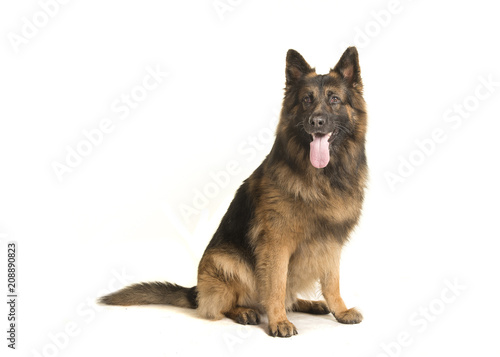 Adult old german shepherd dog sitting isolated on a white background - 208890823