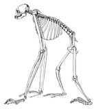 Monkey gibbon skeleton #vector #isolated - Affe Gibbon Skelett - 208891624