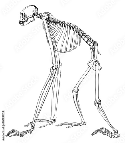 Fototapeta Monkey gibbon skeleton #vector #isolated - Affe Gibbon Skelett