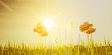 Mohnblumen im Sonnenlicht