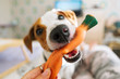 The dog plays with rubber carrot