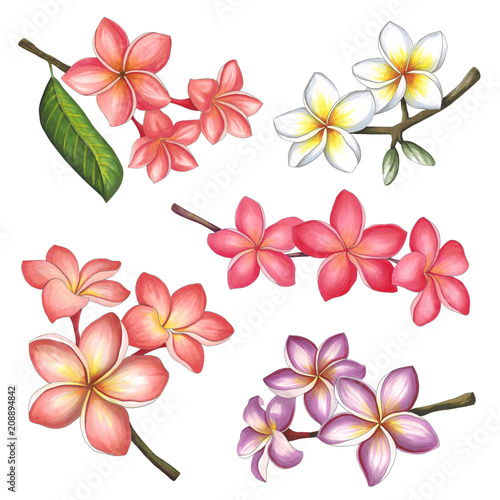 Wall mural Plumeria flowers on a white background. Sketch done in alcohol markers