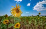 sunflower, flower, sky, nature, field, summer, yellow,