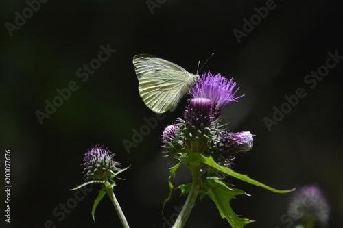 Aluminium Vlinder farfalla su cardo selvatico