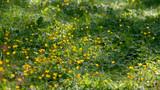Buttercups in the summer sun. - 208903236