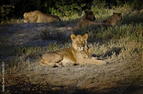Fotobehang Lion Serengeti, Tansania