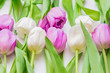 white and purple blooming tulips. floral background
