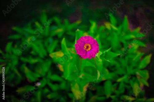 Wall mural Zinnia Flower