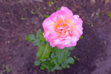 tea rose in raindrops - 208917488