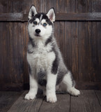 siberian husky puppy on wood background