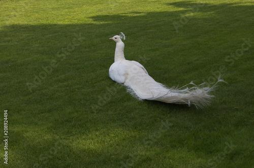 Aluminium Pauw Ritratto di uno splendido pavone bianco o albino nel prato