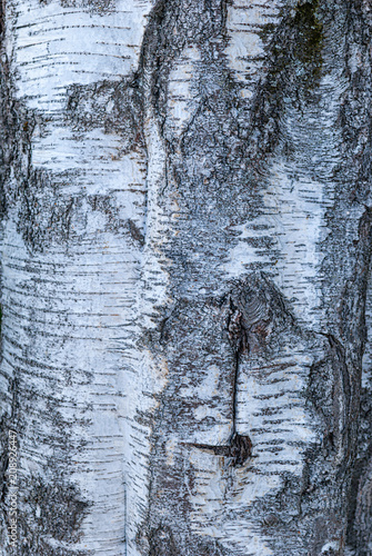 Plexiglas Berkenbos Bark texture on the trunk of a birch grove in the forest close-up